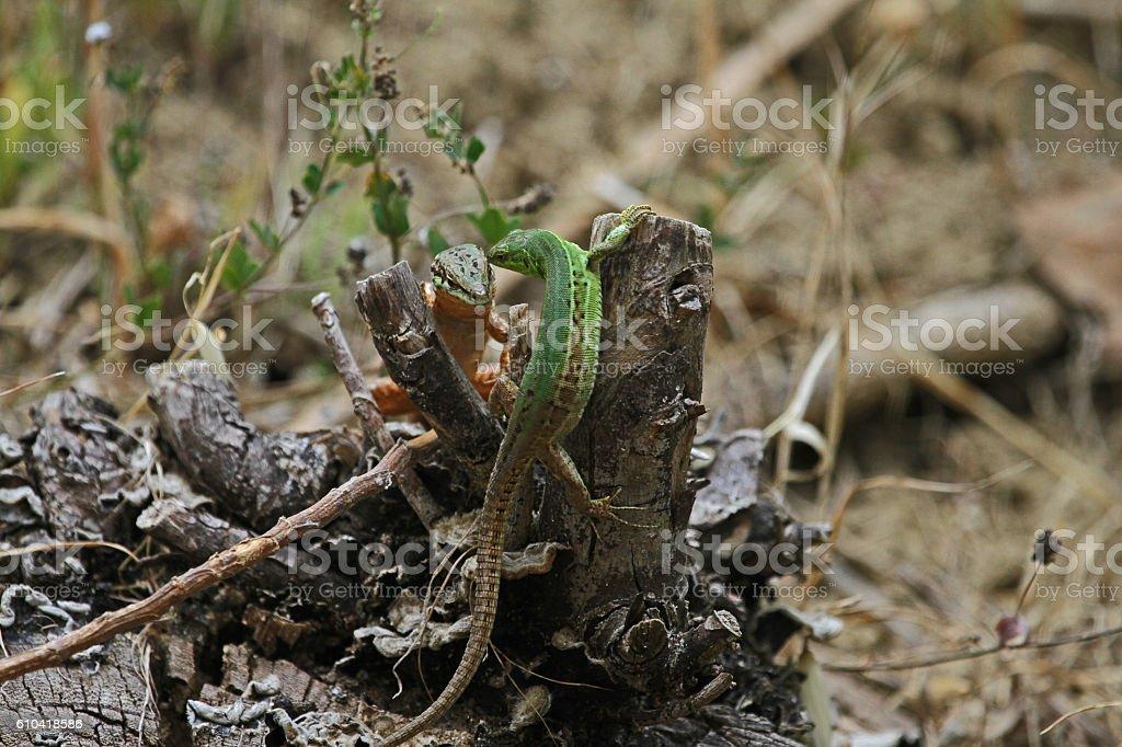 Italian wall lizards 93t podarcis sicula muralis by Ruth Swan stock photo