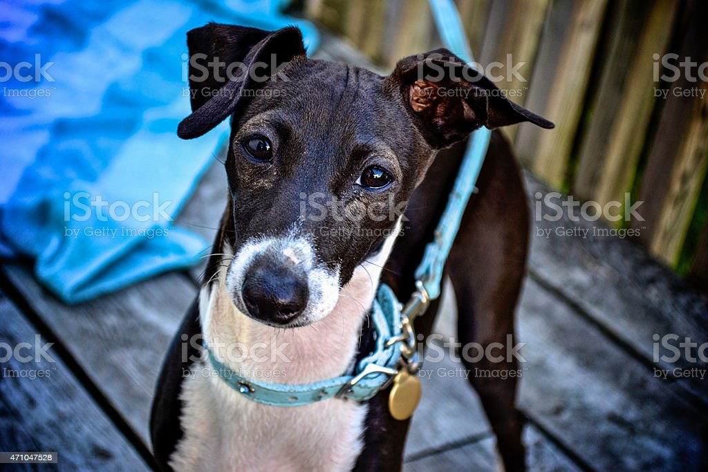 Italian-Greyhounds-1 stock photo