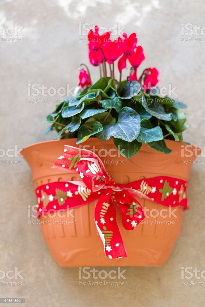 Italy: Christmas Decor: Red Cyclamen in Flowerpot, Red Holiday Ribbon stock photo
