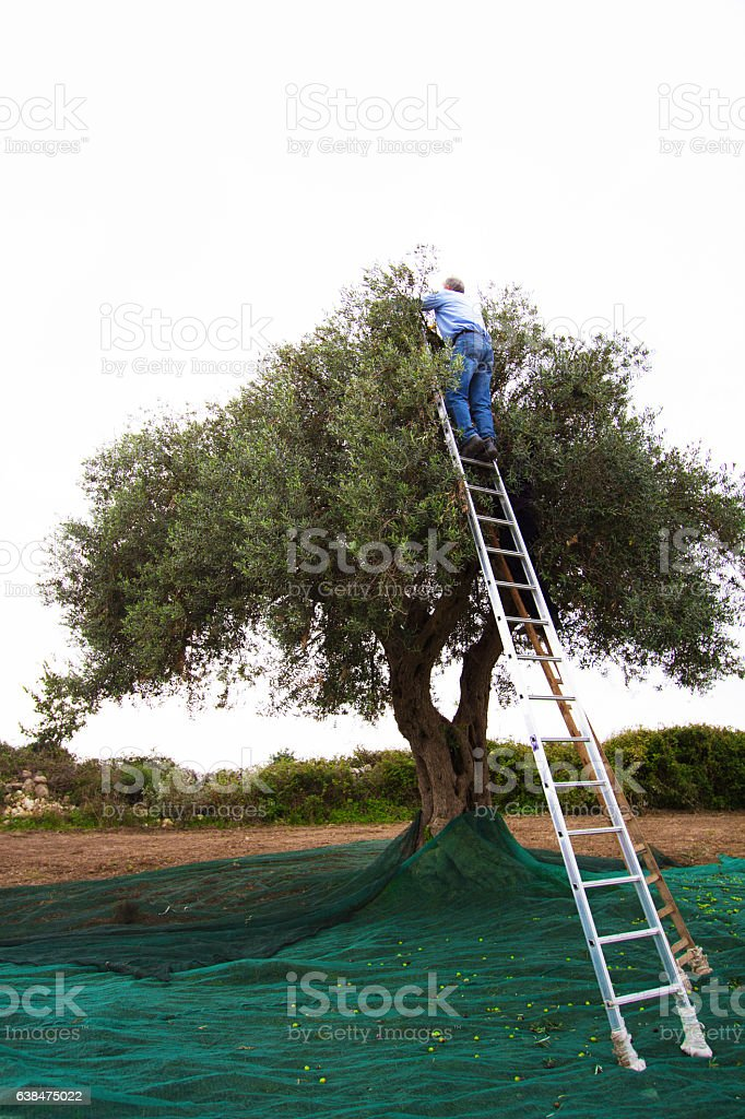 Italy: Man High on Ladder Picking Olives, Olive Net stock photo