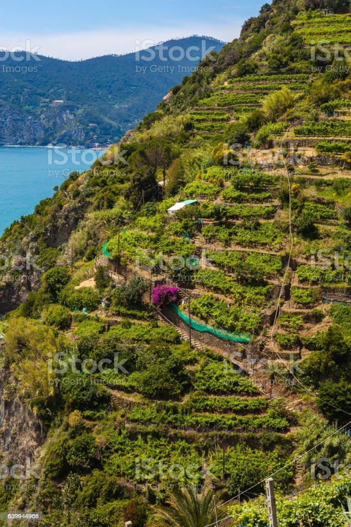 Italy, Manarola, Vineyard stock photo