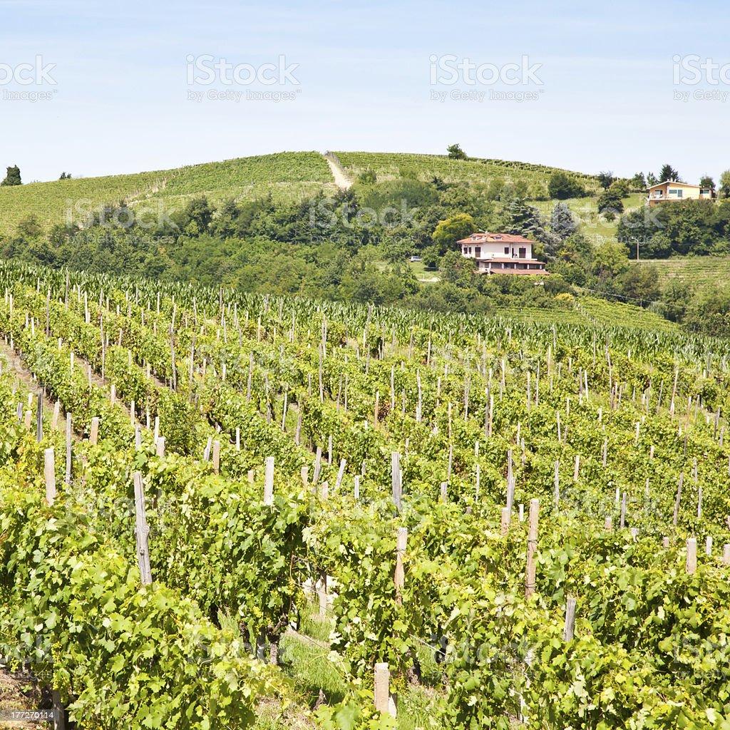 Italy - Piedmont region. Barbera vineyard royalty-free stock photo
