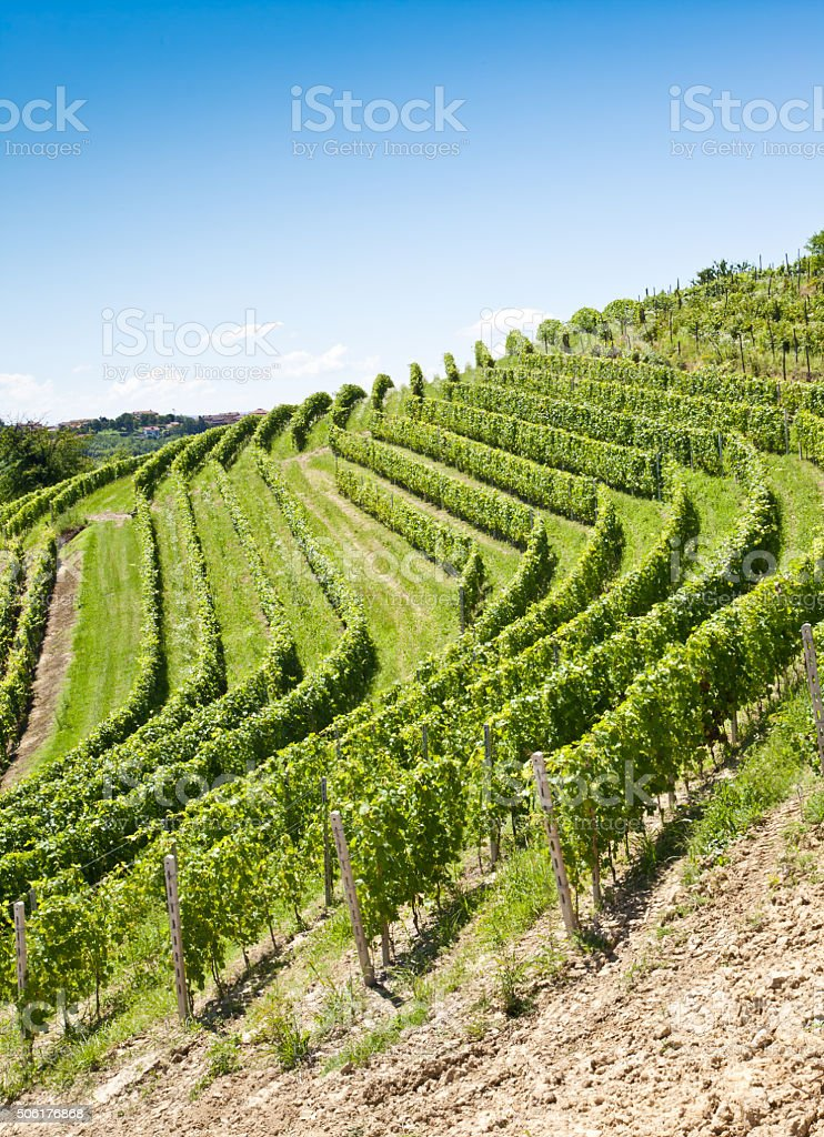 Italy - Piedmont region. Barbera vineyard stock photo