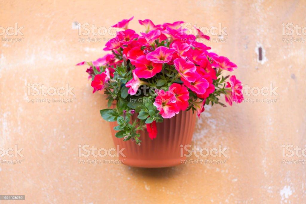 Italy: Pretty Red Petunias in Terracotta Pot on Orange Wall stock photo