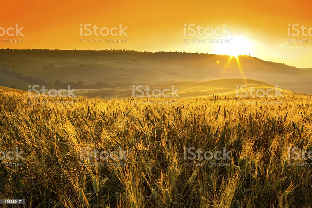 italy tuscany wheat field during red summer sunrise or sunset royalty-free stock photo