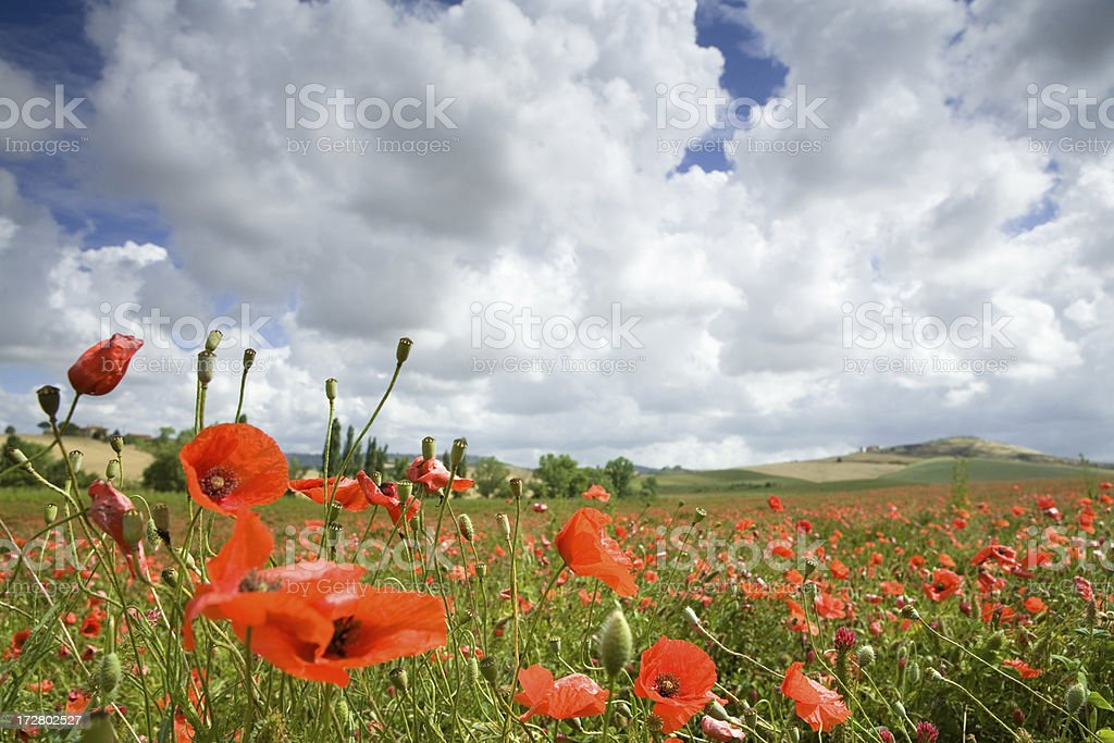 italyan poppy field royalty-free stock photo