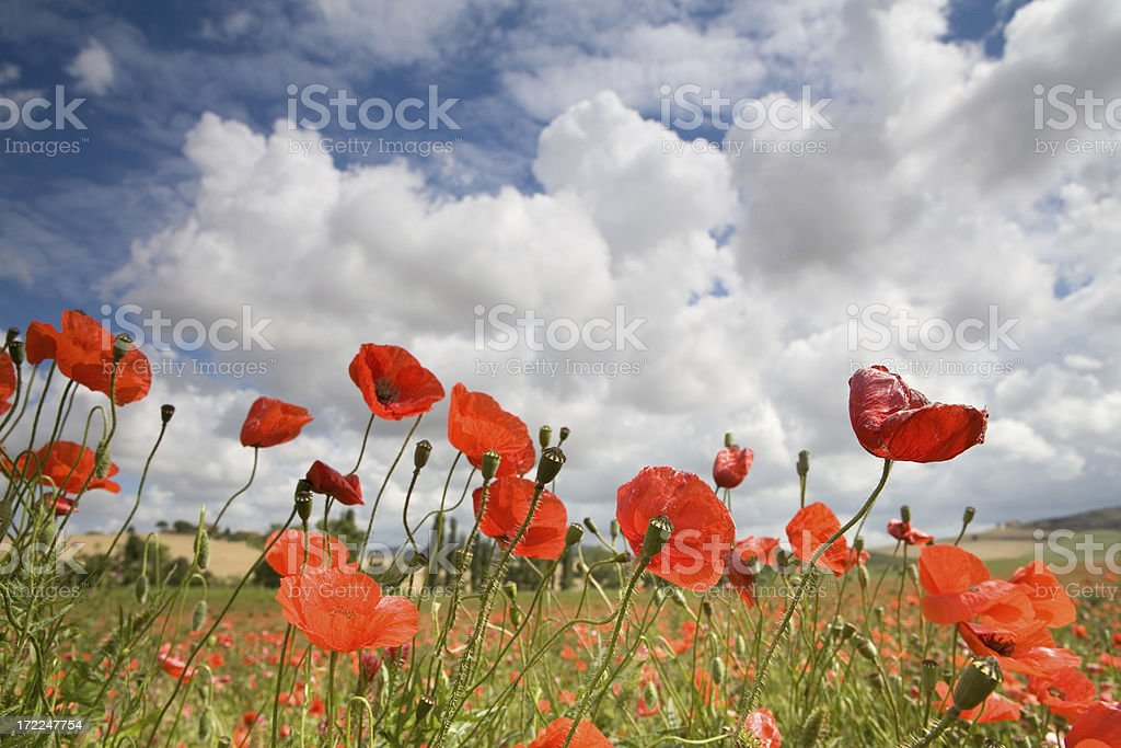 italyan poppys royalty-free stock photo