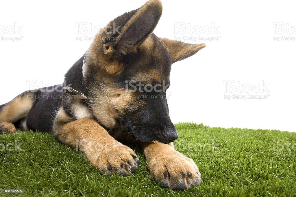 Itchy German Shepherd Pup stock photo
