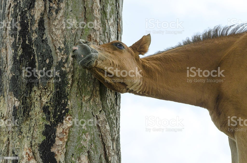 itchy - Horse foal scratching on tree royalty-free stock photo