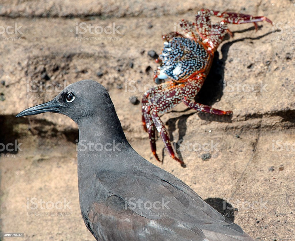 It's behind you - Brown Noddy and crab, Galapagos stock photo