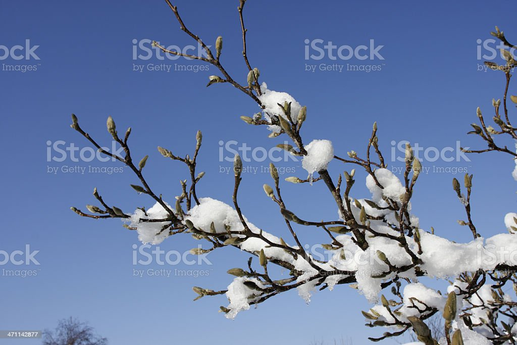 Snow covered buds of Magnolia X soulangeana royalty-free stock photo