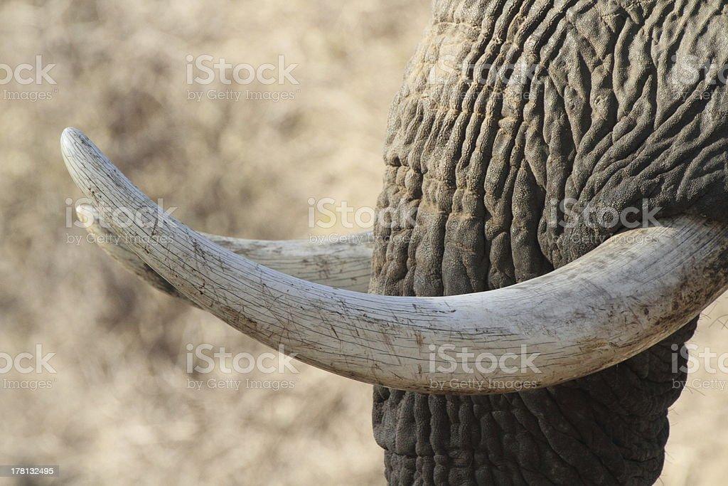Ivory stock photo