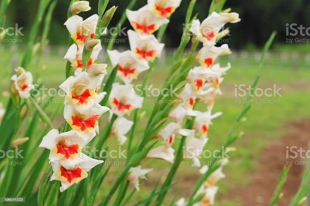 ivory white gladiolus growing in a garden royalty-free stock photo