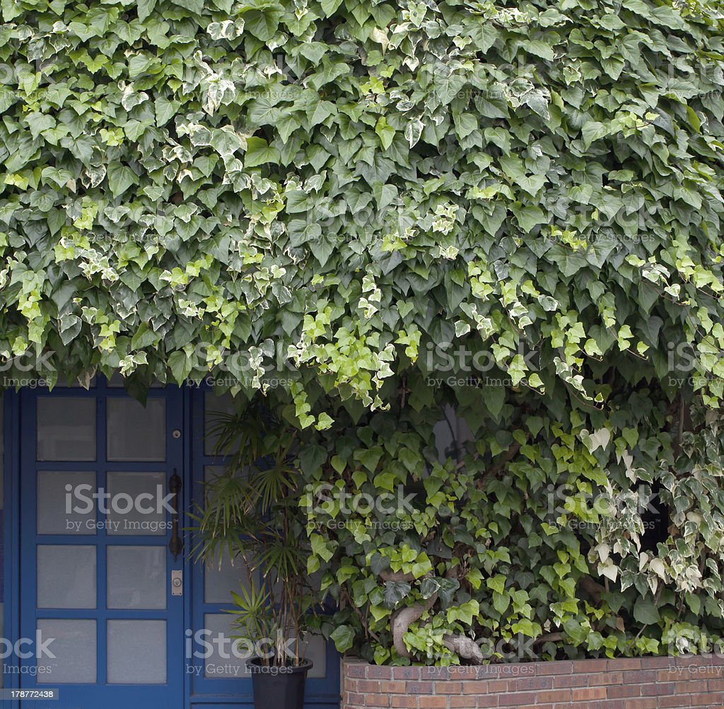 ivy and door stock photo