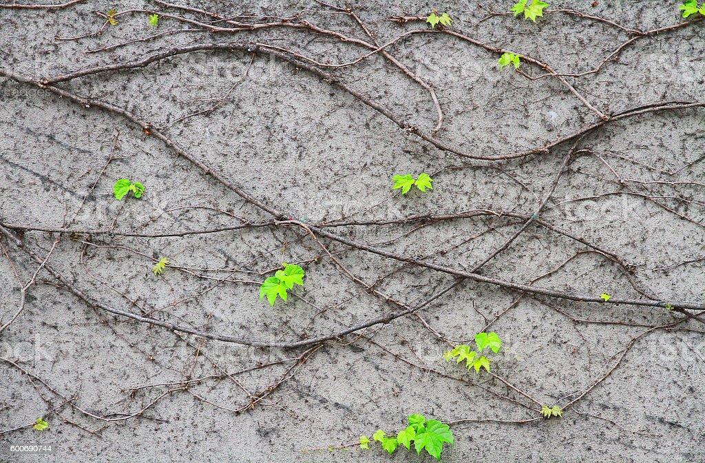Ivy and green leaf foto de stock libre de derechos