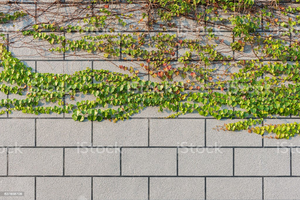 ivy and wall stock photo