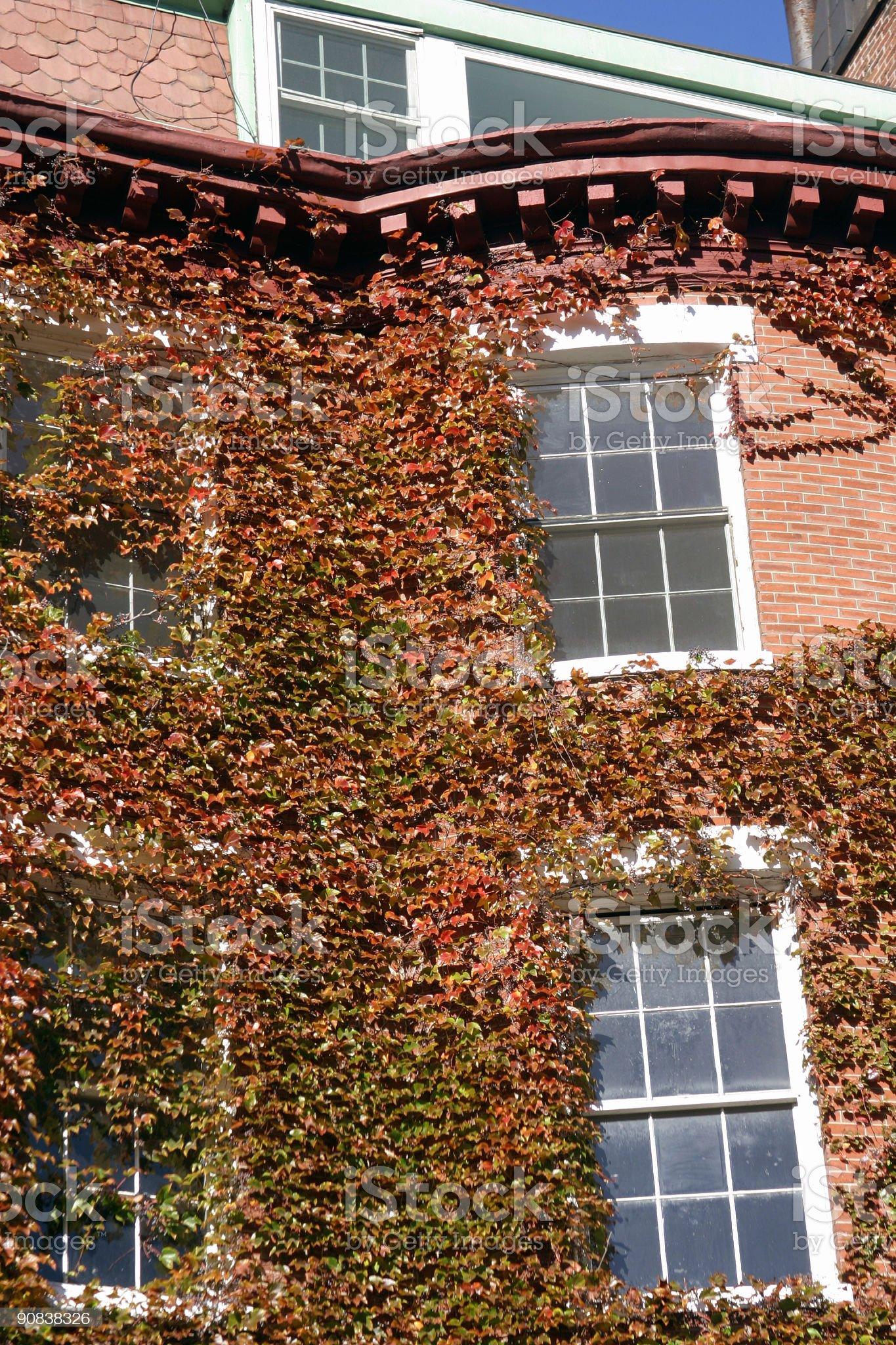 Ivy at Beacon Hill royalty-free stock photo