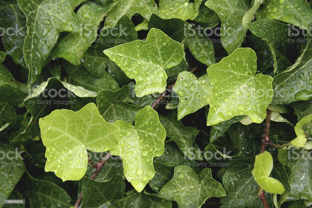 Ivy background royalty-free stock photo