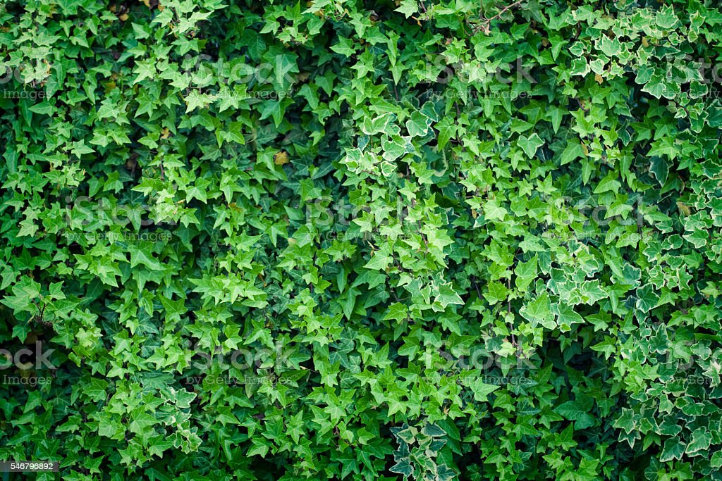 Ivy background stock photo