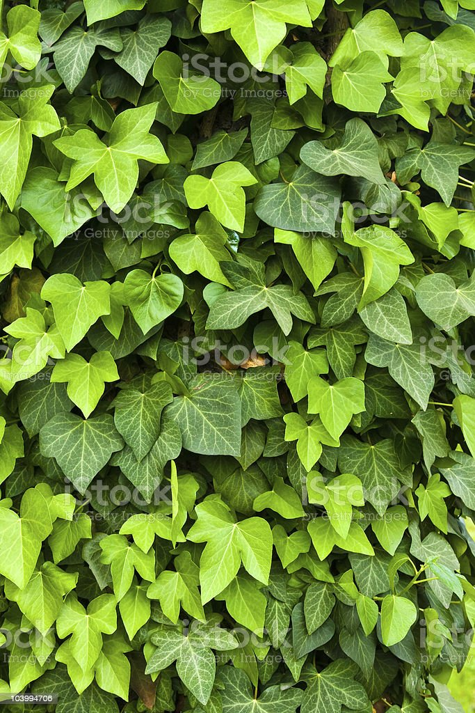 Ivy background with leaves and vines royalty-free stock photo