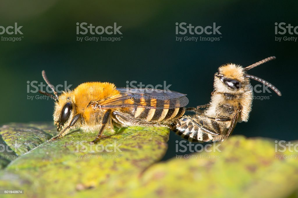 Ivy bees (Colletes hederae) mating stock photo
