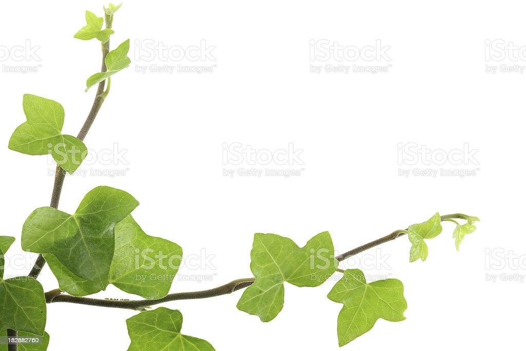 ivy (hedera helix) border isolated on white royalty-free stock photo