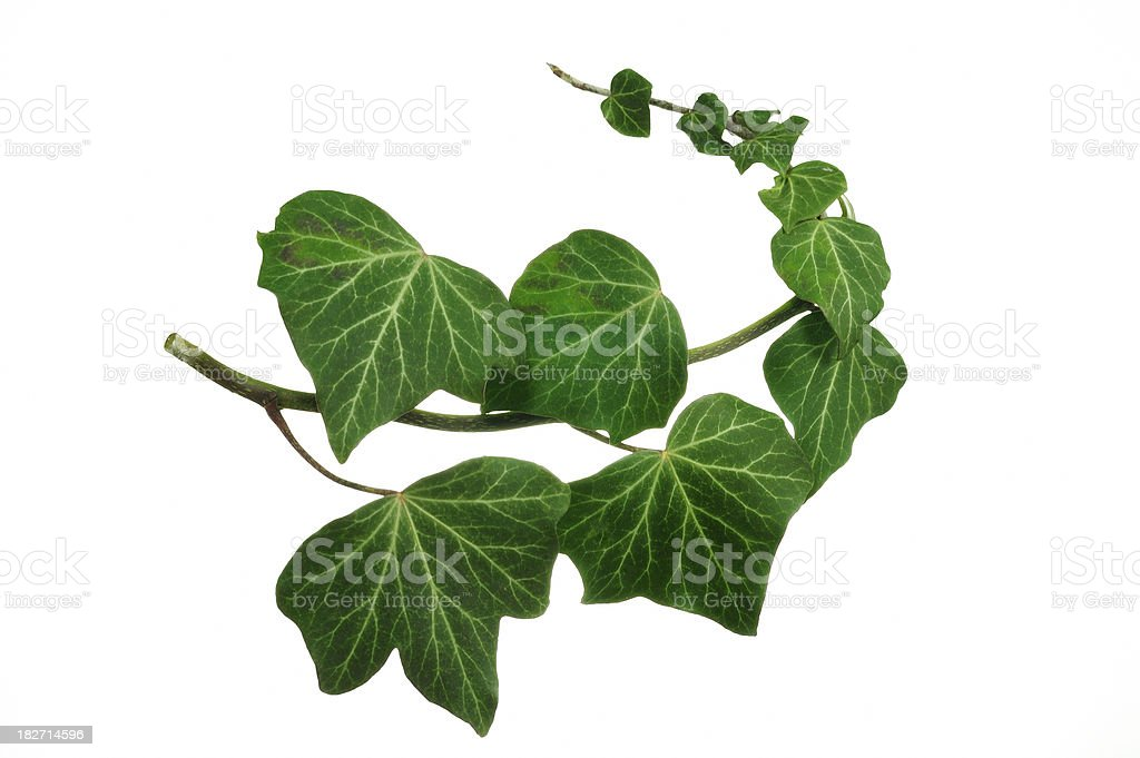Ivy branch royalty-free stock photo