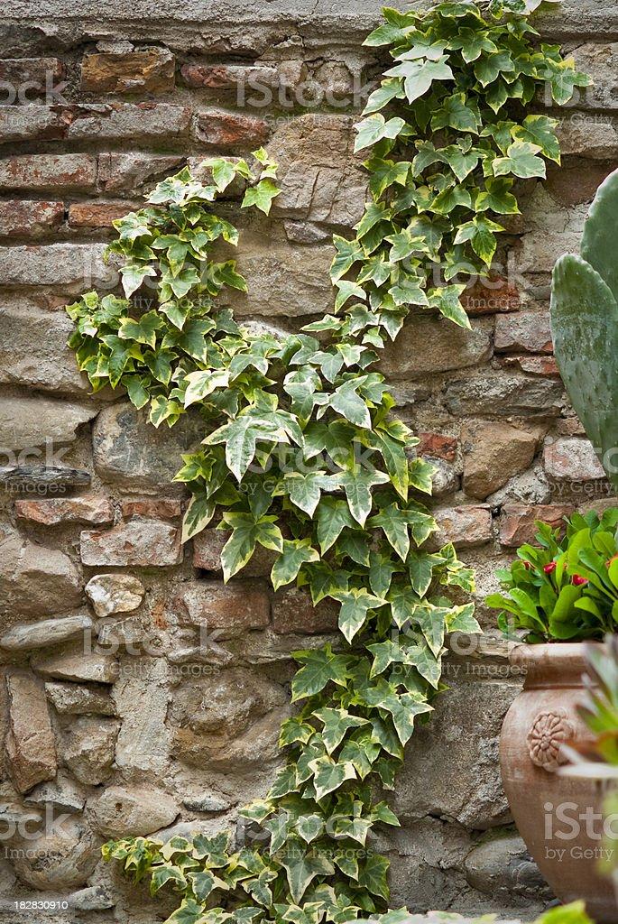 ivy climbing royalty-free stock photo