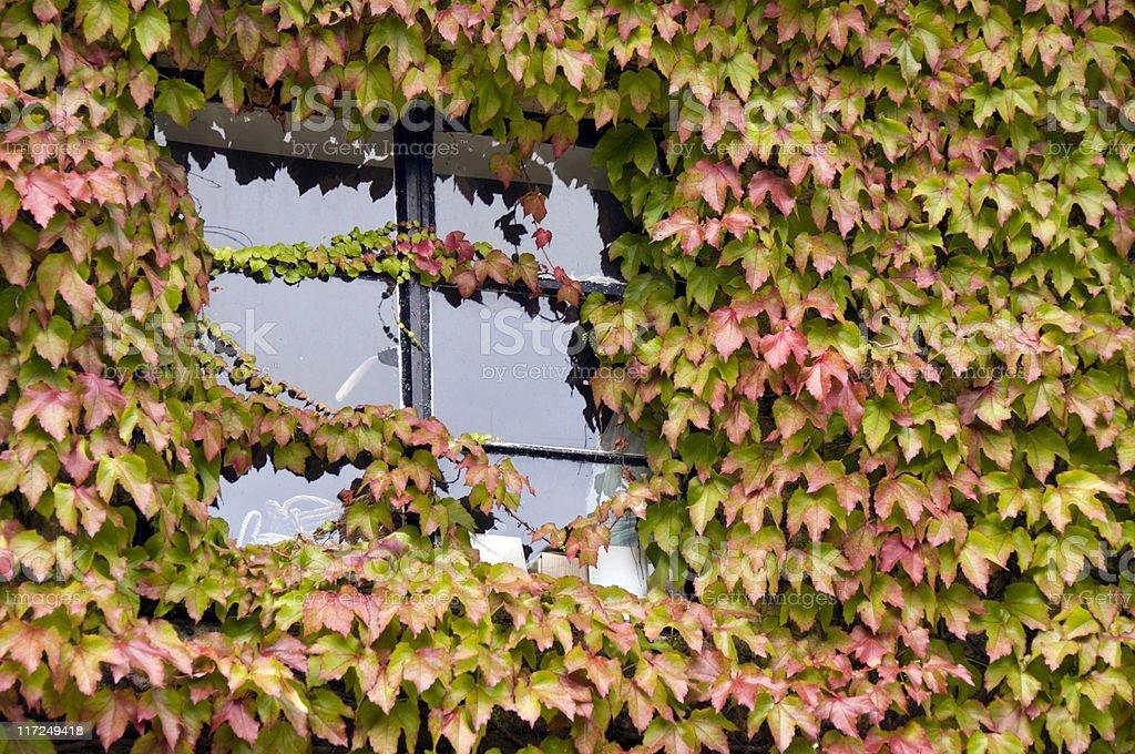 Ivy Cottage Window stock photo