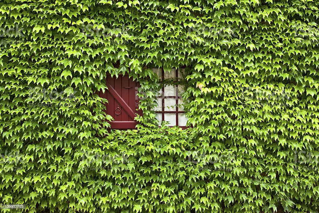 Ivy covered window stock photo