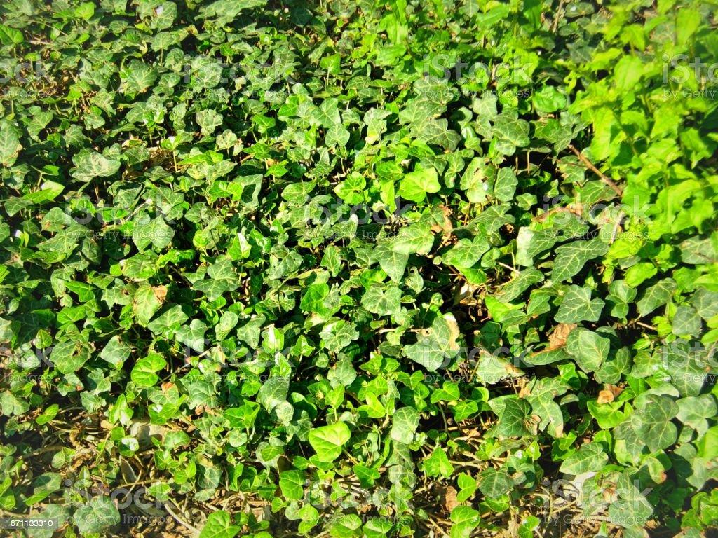 Ivy creeper plant stock photo