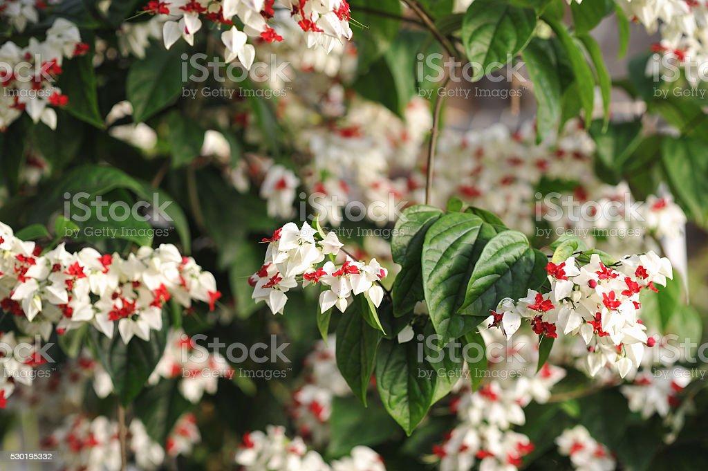 Ivy flowers. stock photo