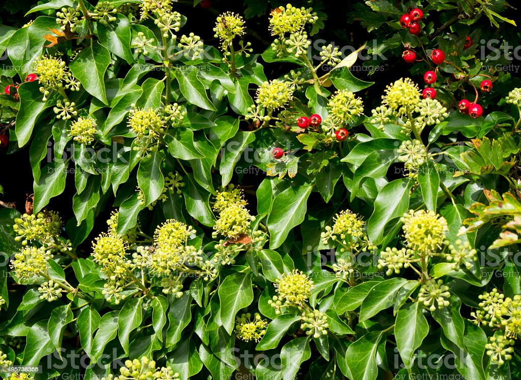 Ivy flowers with haws stock photo