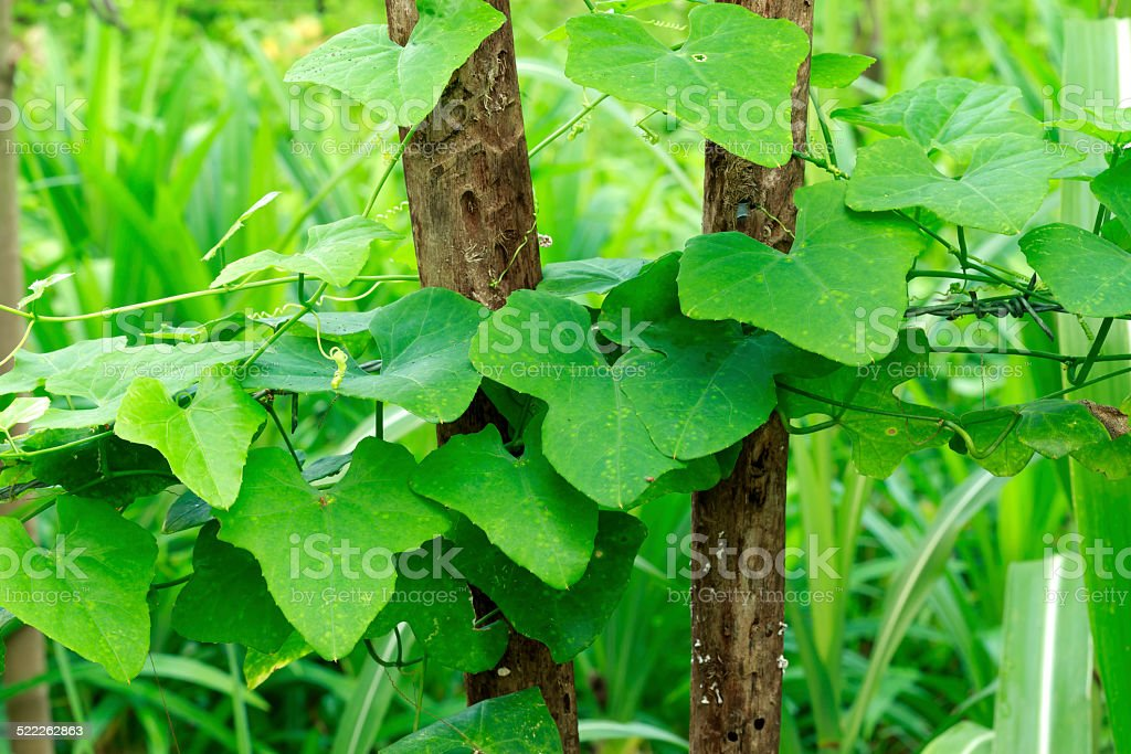 Ivy Gourd stock photo