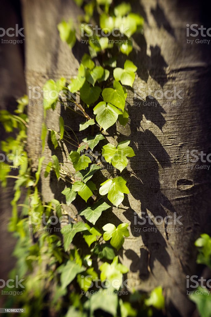 Ivy Growing on a Tree stock photo