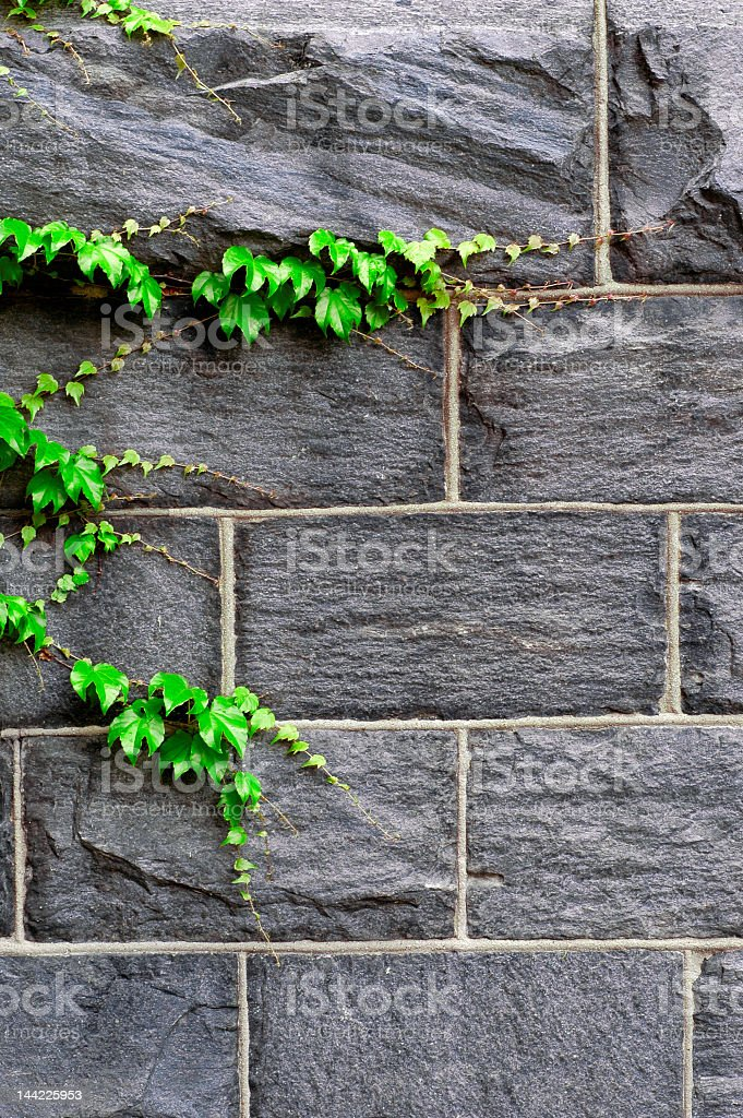 Ivy Growing on Wall royalty-free stock photo