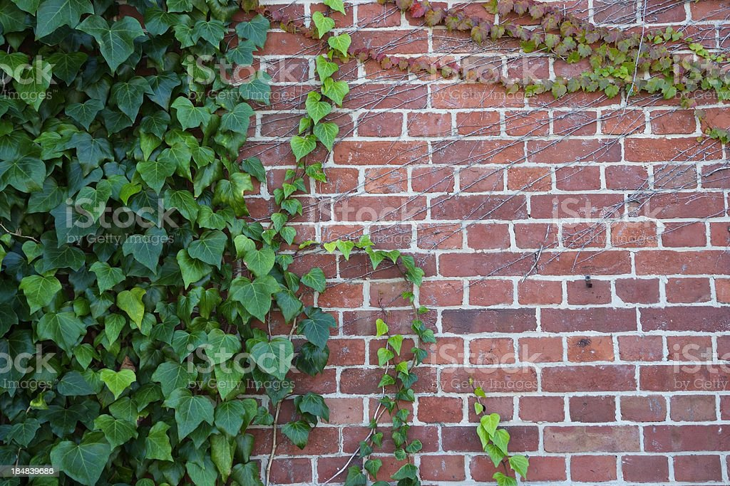 Ivy growing up a brick wall with copy space royalty-free stock photo