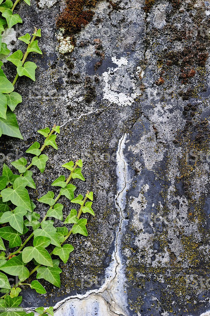 Ivy growing up a stained concrete wall stock photo