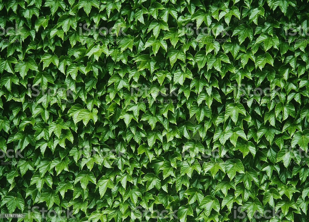 Ivy growing up a white wall in summer stock photo
