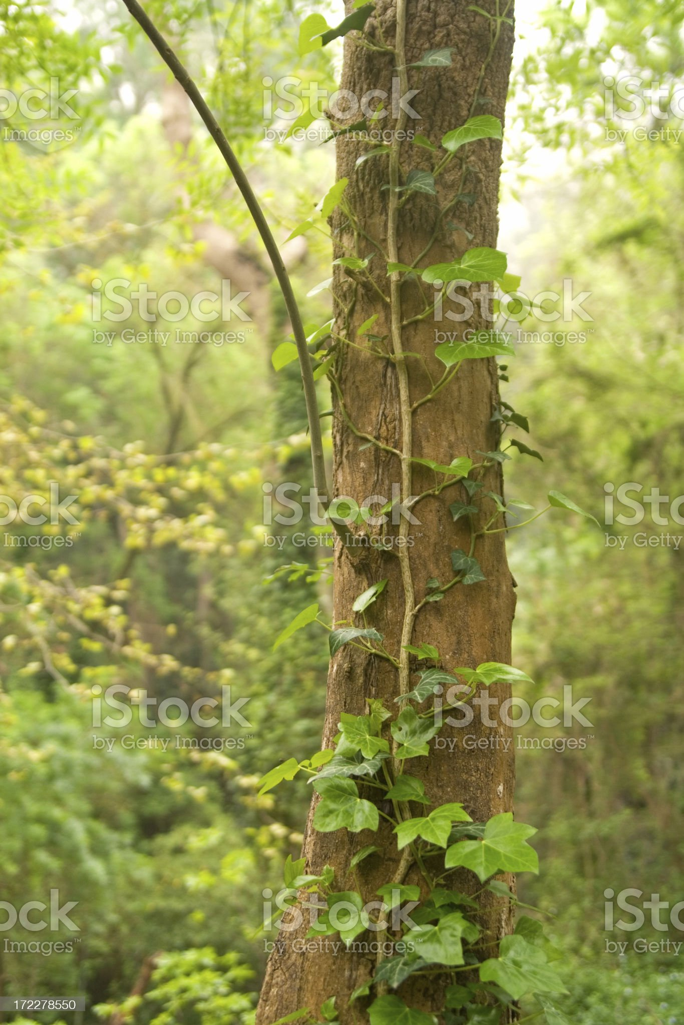 Ivy growing up the tree royalty-free stock photo