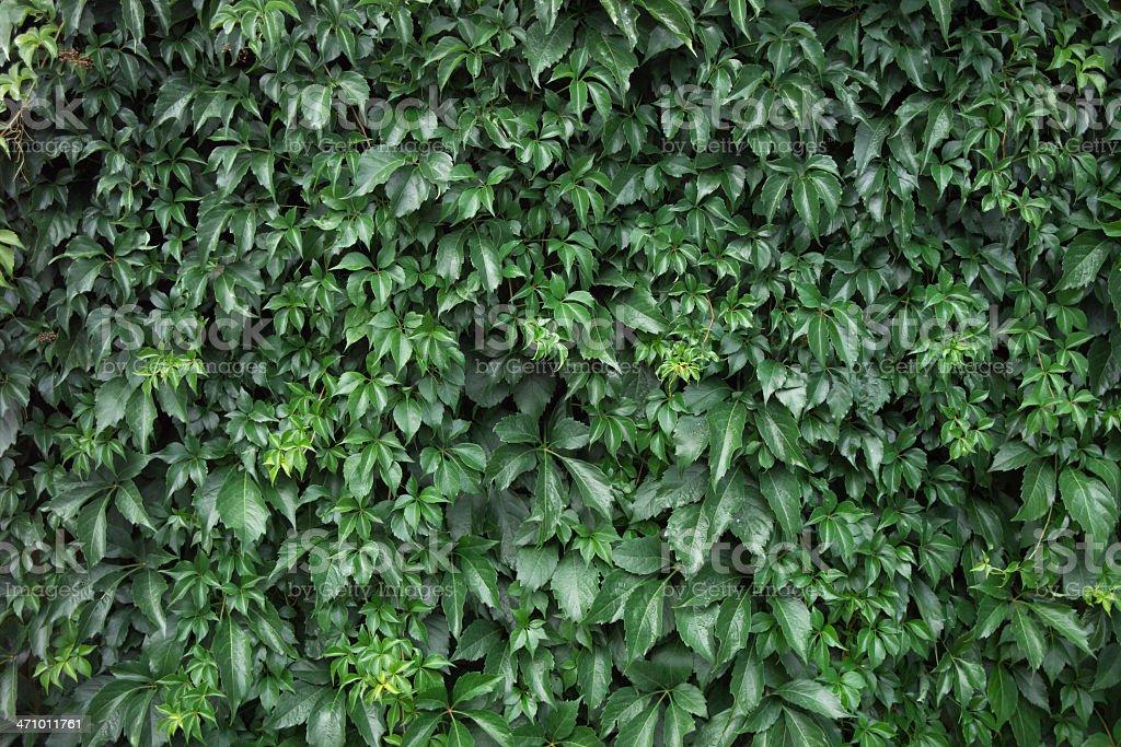Ivy Horizontal royalty-free stock photo