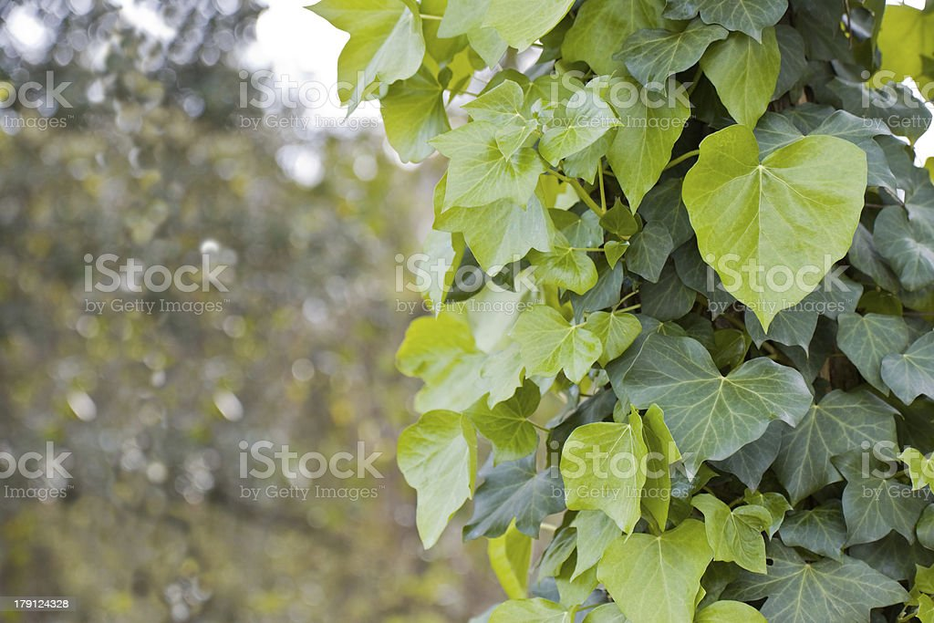Ivy in the woods royalty-free stock photo