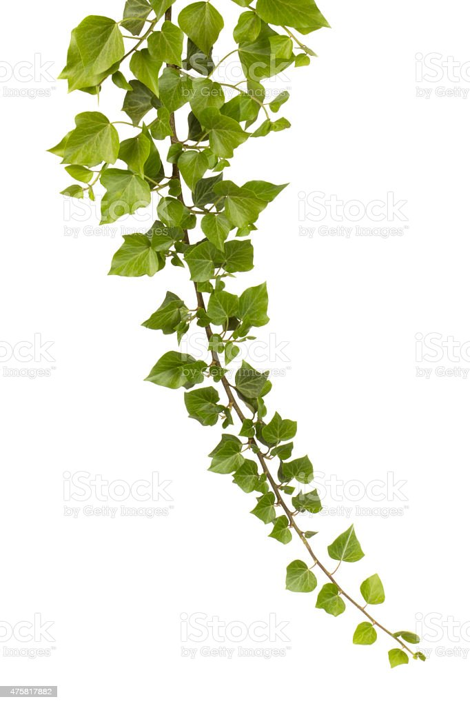 Ivy isolated on white stock photo