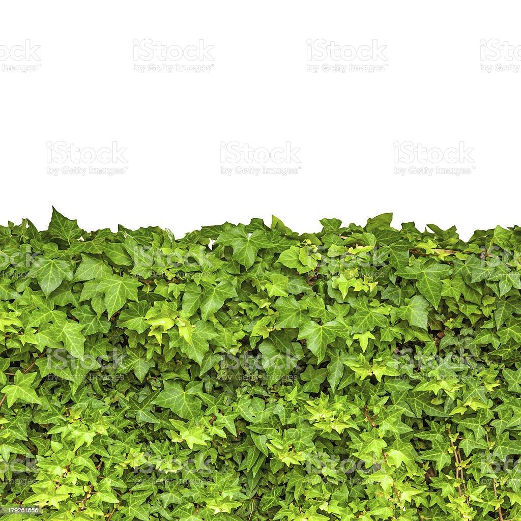 Ivy isolated royalty-free stock photo