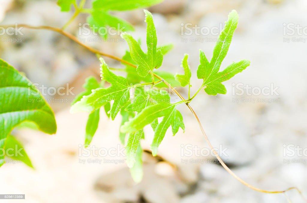 ivy leaf stock photo