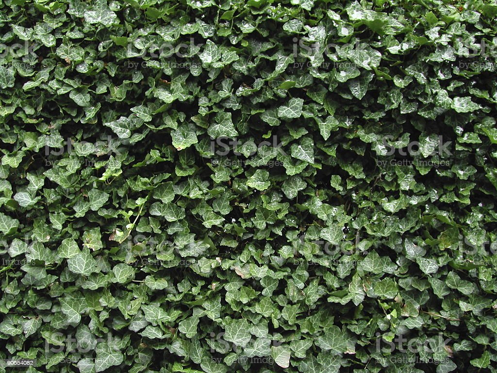 Ivy Leaf Texture Pattern royalty-free stock photo