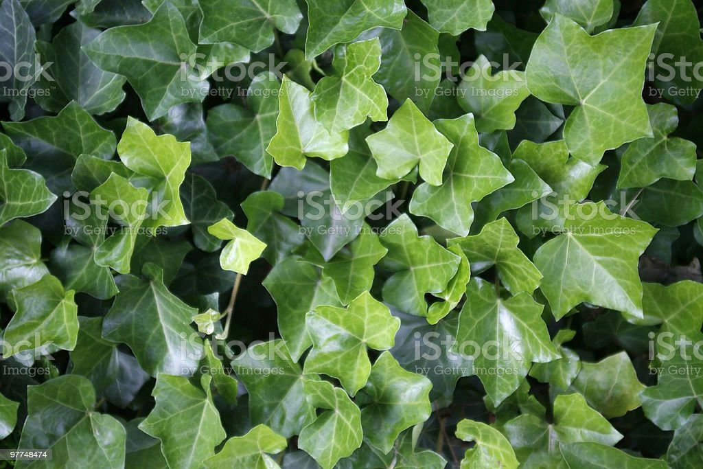 ivy leaves closeup stock photo