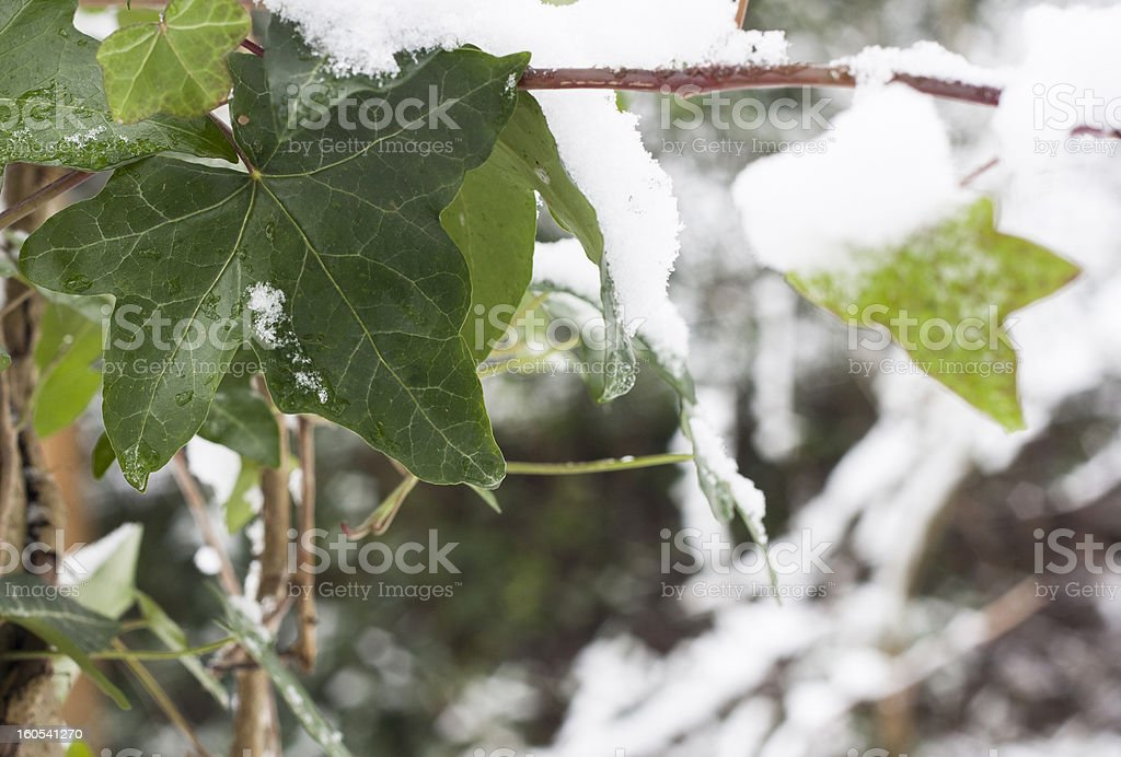 ivy leaves in frost royalty-free stock photo