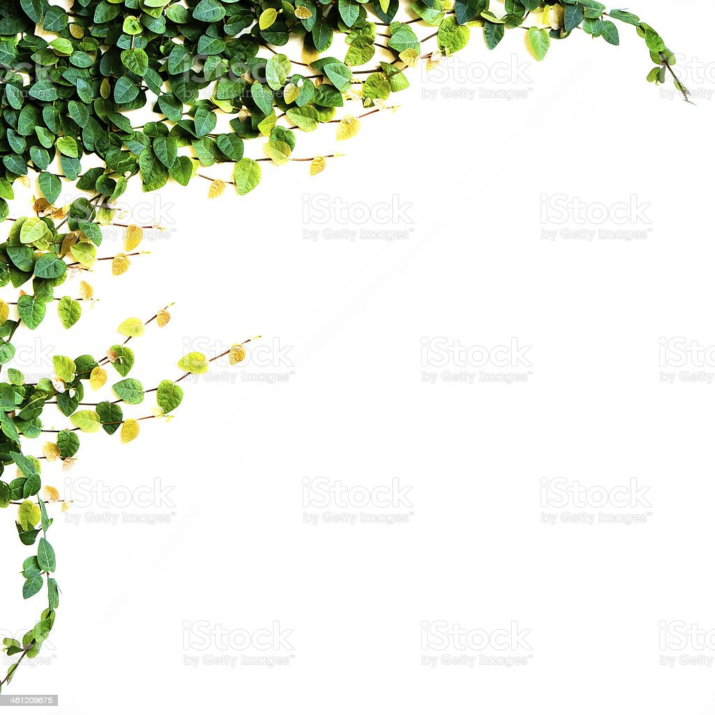 ivy leaves isolated on a white background stock photo