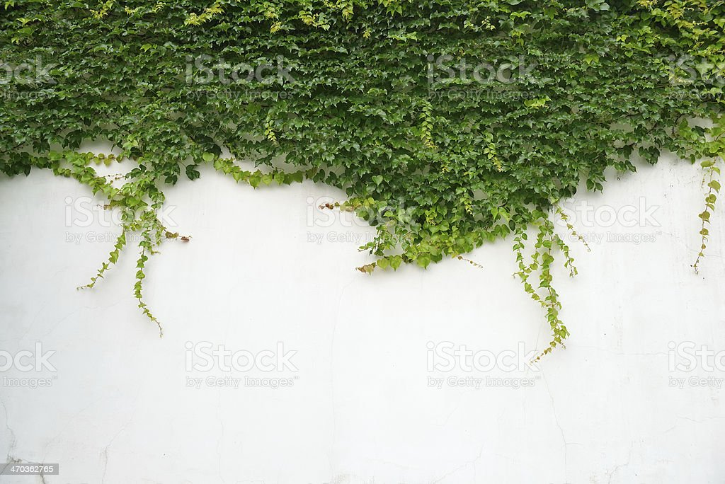 ivy leaves isolated on a white background royalty-free stock photo